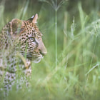 Постер, плакат: leopard cub abstract in environment waiting for its mother