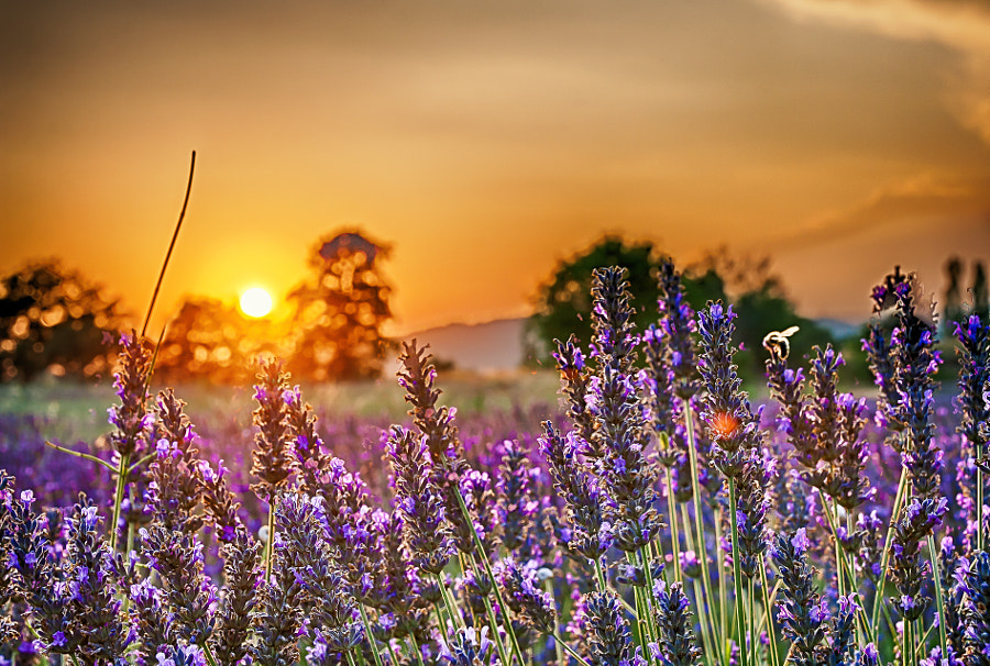 Hard-working bee in lavender field at sunset