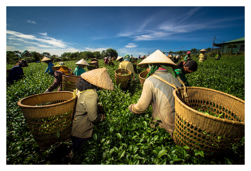 Photograph Workers at tea plantation by Peter Pham on 500px