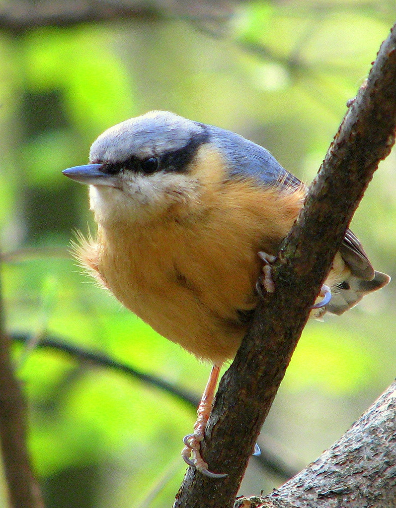 Photograph Nuthatch by Rainer Leiss on 500px