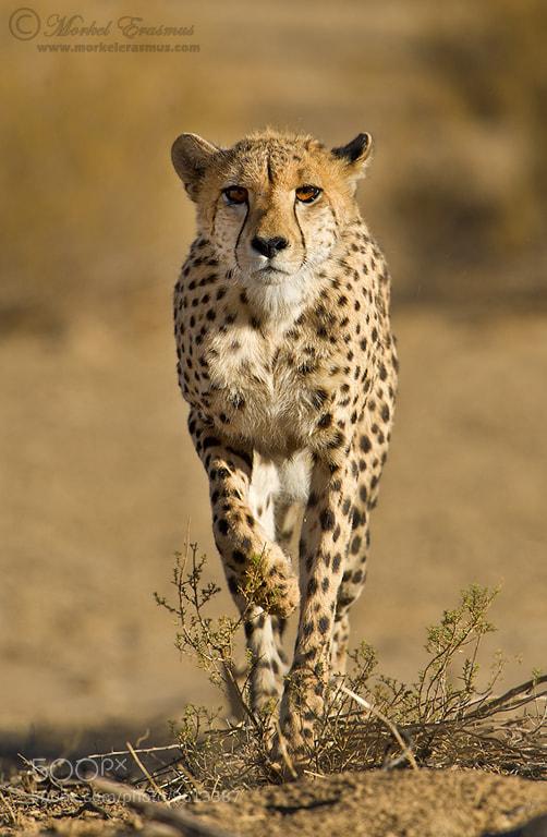 Photograph Stalking Cheetah by Morkel Erasmus on 500px