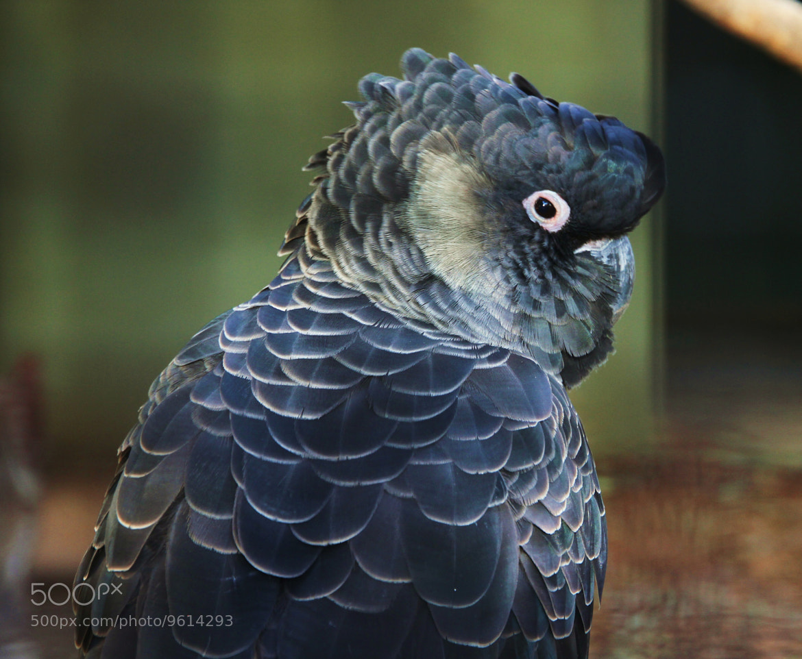 Photograph Carnaby Cockatoo by Mark B on 500px