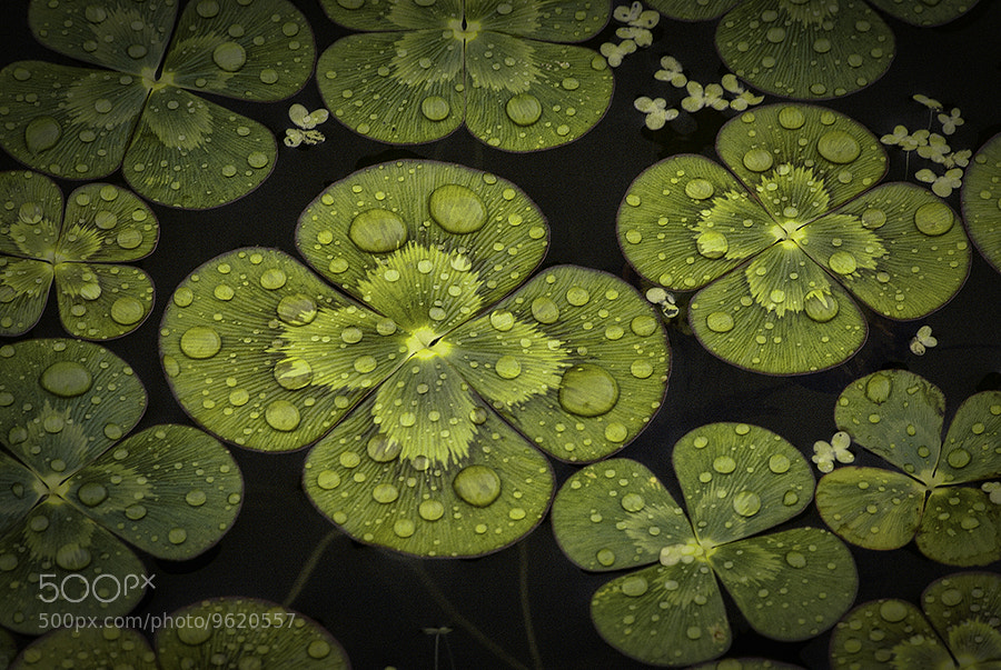 Photograph Water Clover by Alan Borror on 500px