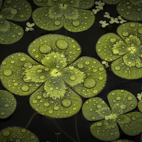 Water Clover by Alan Borror (alborr)) on 500px.com