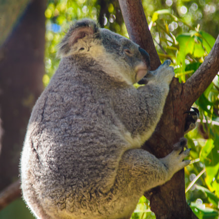 Grumpy Koala