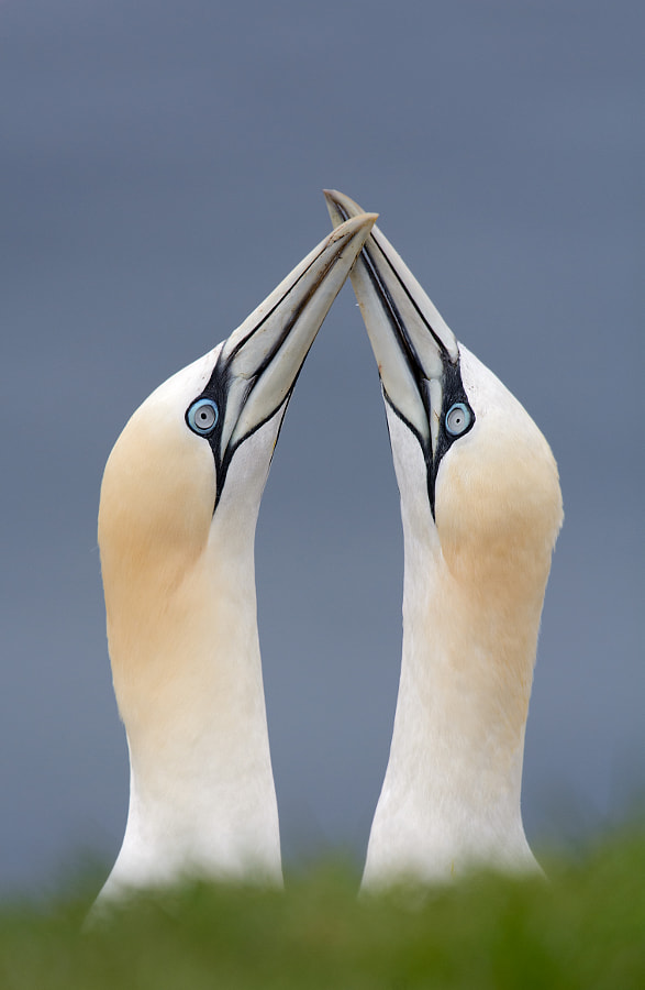 Northern Gannet Courtship by wildlife photographer Brad James on 500px.com