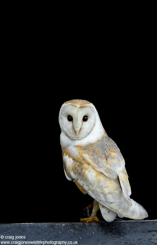 Photograph Beautiful Barn Owl  by Craig Jones on 500px