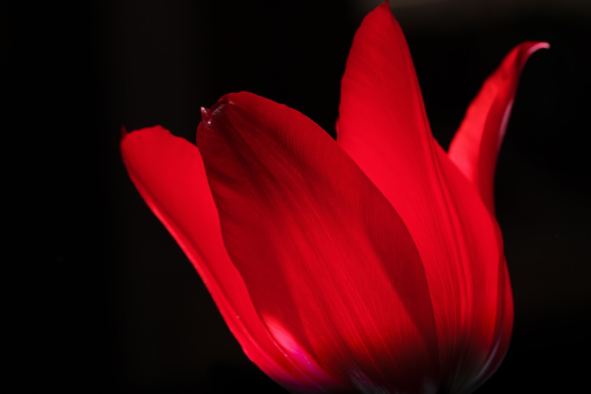 Photograph tulpe by Jens S. on 500px