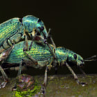 A lovely couple of Silver-green leaf Weevils (Phyllobius argentatus).