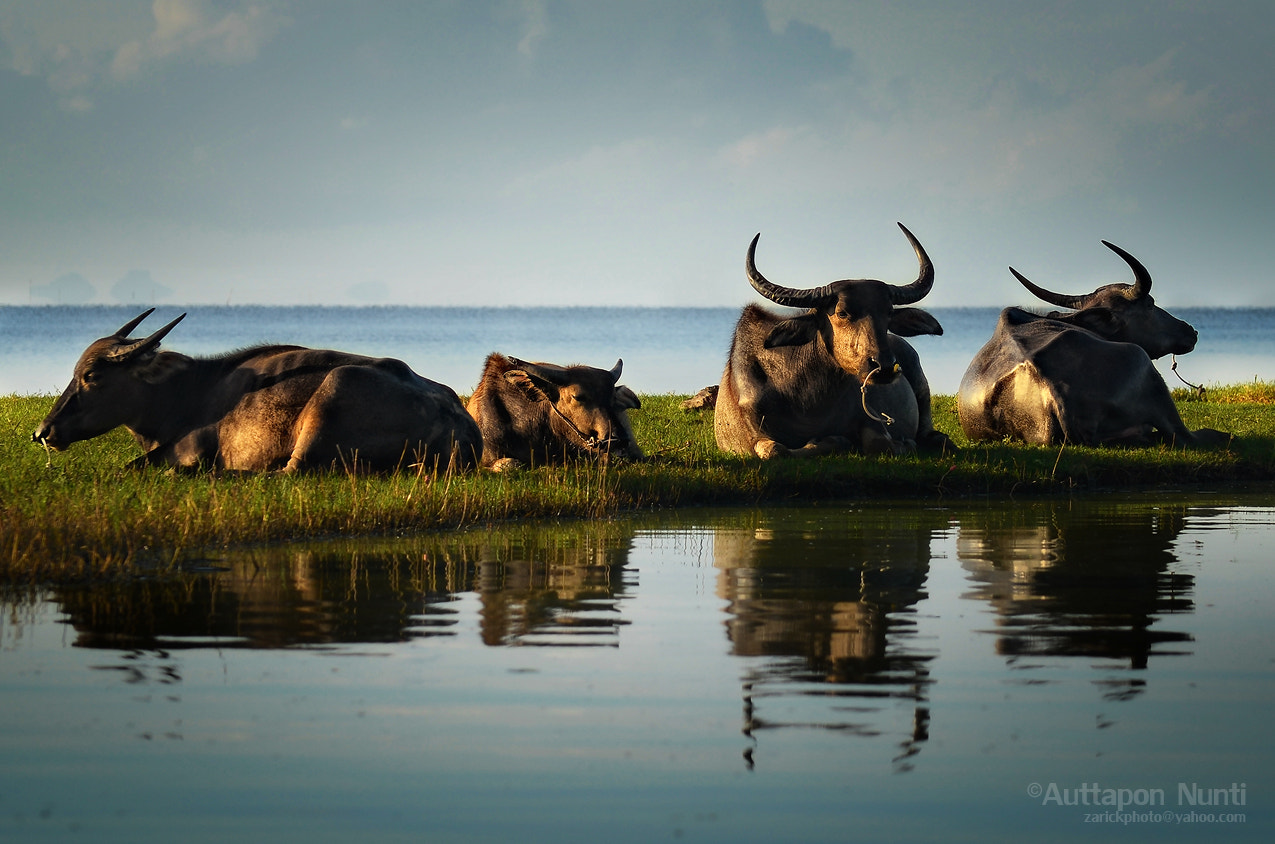 Photograph Buffaloes by Auttapon Nunti on 500px