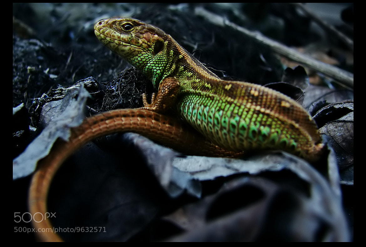 Photograph Proud of Lizard King ! by EMERALD WAKE © on 500px