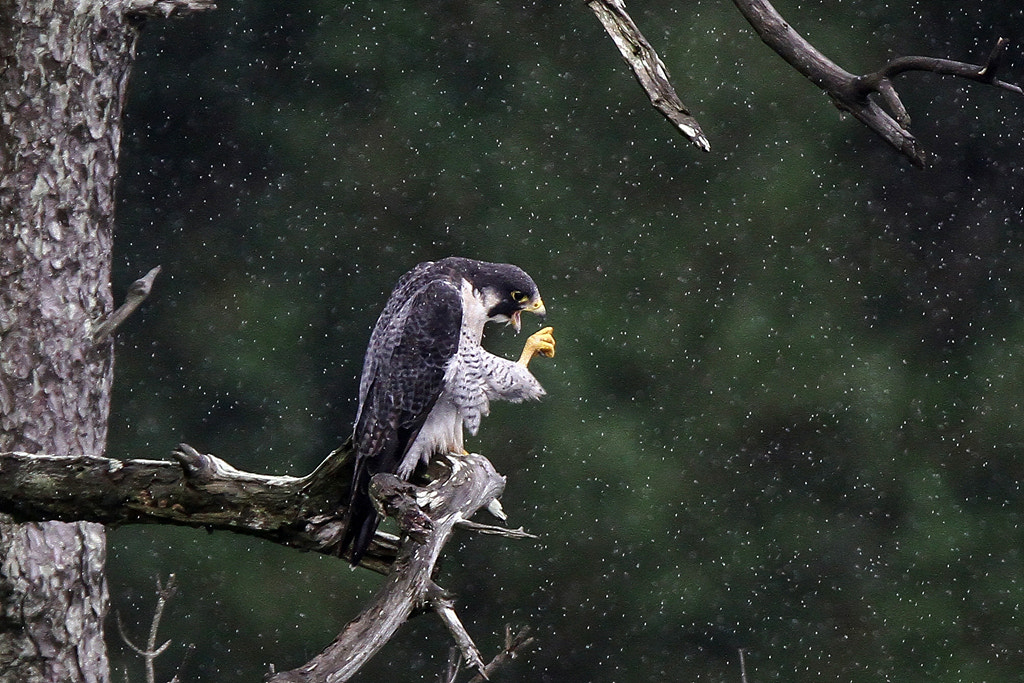 Photograph falcon in rain by Jitaek Park on 500px