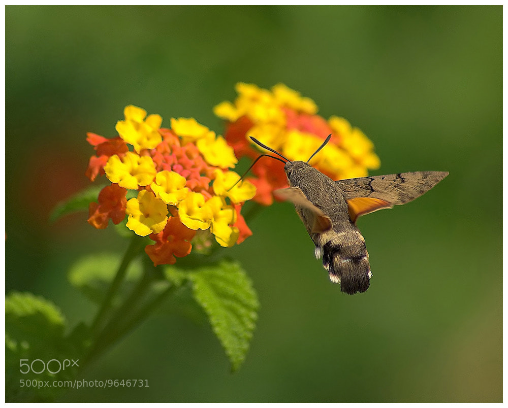 Photograph Hummingbird Hawkmoth by Geoffrey Baker on 500px