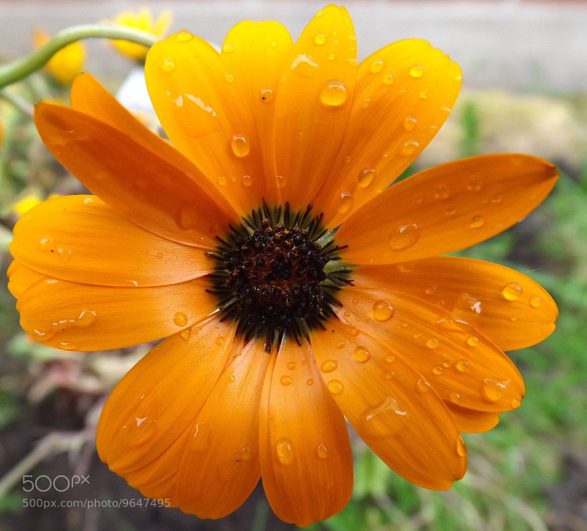 Photograph Orange flower by Max Rigden on 500px