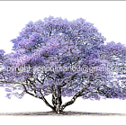 Jacaranda Mimosifolia ii. Available as a part of a limited print run of 24 prints at full size. 140x100cm
