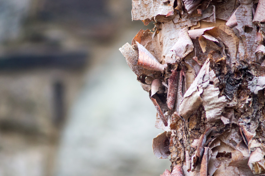 Photograph A Peeling Tree by Andy Roth on 500px