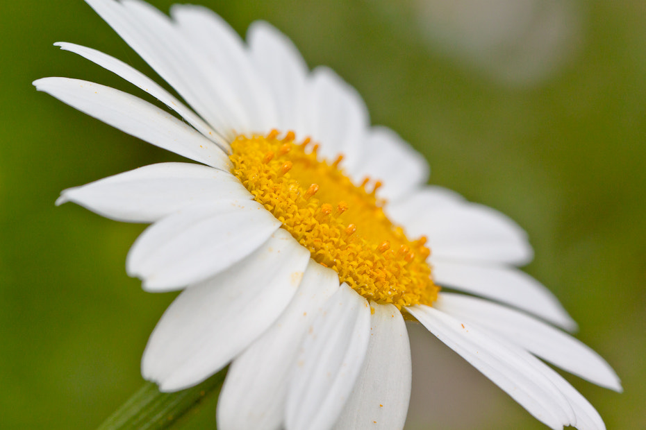 Photograph big daisy by Marion Fanieng on 500px
