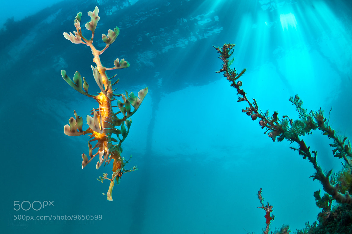 Photograph Seadragon by Robert Rath on 500px