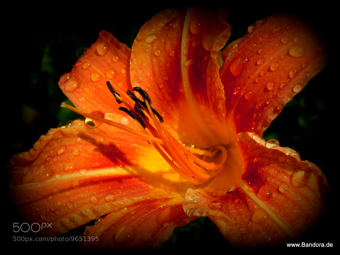 Photograph Wet lily. by Daniela Niederbauer on 500px