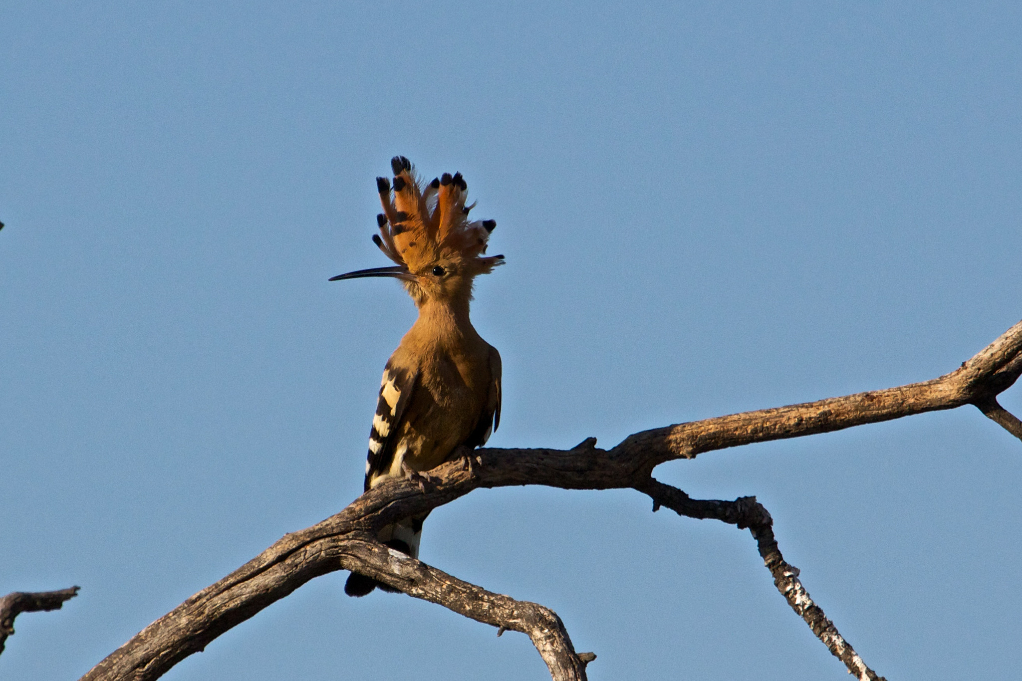 Photograph Hoopoe by Marc  on 500px
