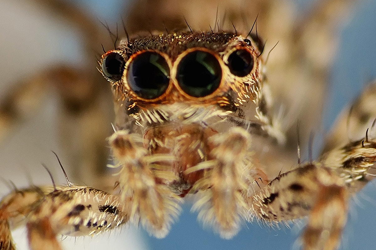 Photograph Compound eyes of jumping spider by Fotugraphar Quazi on 500px