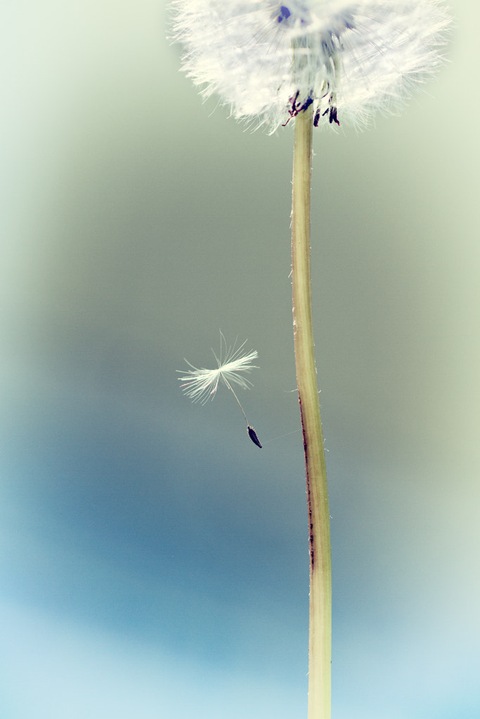 Photograph Parachute Seed by Jeanette Svensson on 500px