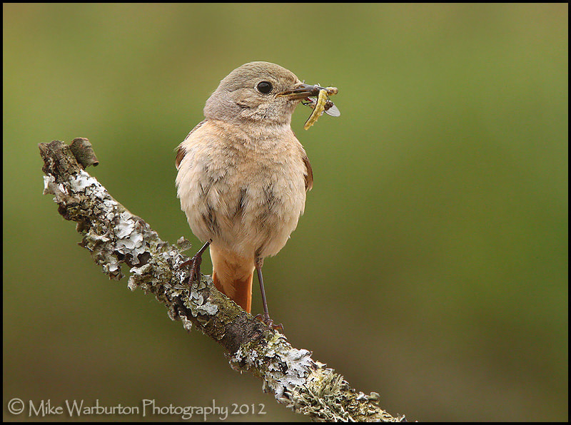 Photograph Redstart by Mike Warburton on 500px