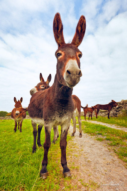 Photograph Donkeys by conor ledwith on 500px