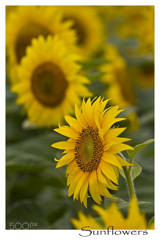 Photograph Sunflowers by Geert Van der Straeten on 500px