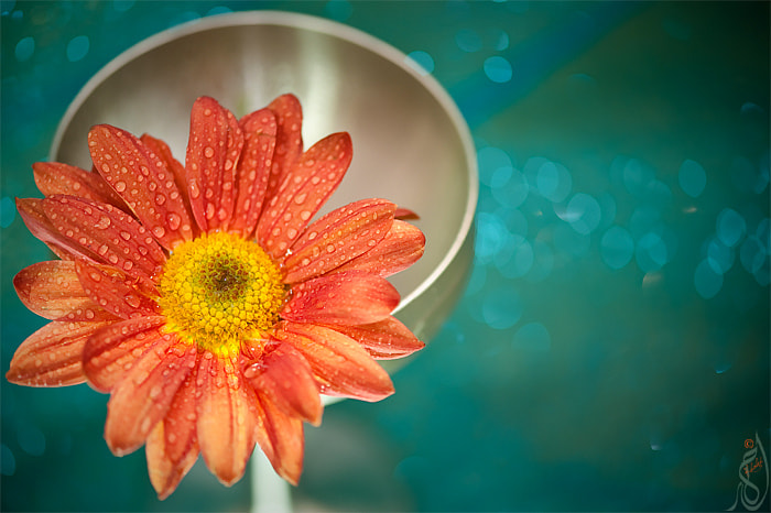 Photograph flower 2 by KhaledMx on 500px