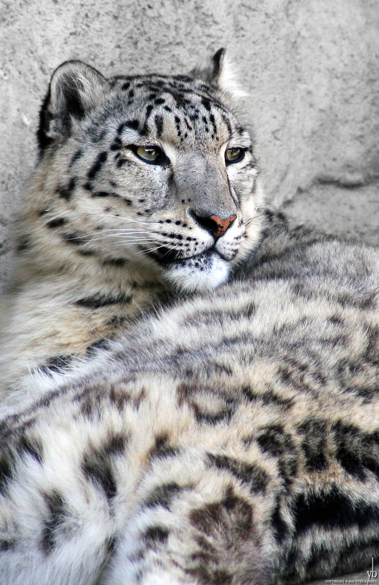 Photograph snow leopard by y b on 500px