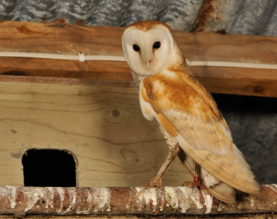 Photograph Barn owl adult ( Tyto alba ) by Kevin  Keatley on 500px