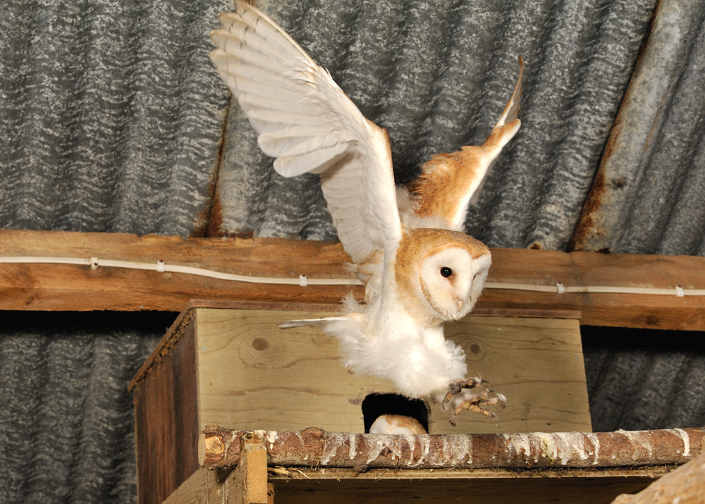 Photograph Barn Owl young ( Tyto alba ) by Kevin  Keatley on 500px
