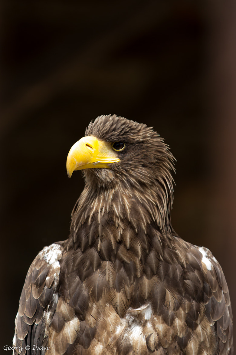 Photograph Eagle by Georg Ivan on 500px
