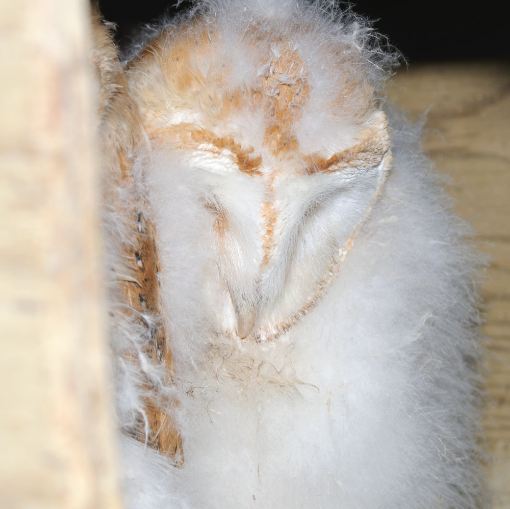 Photograph Young barn Owl ( Tyto alba ) by Kevin  Keatley on 500px