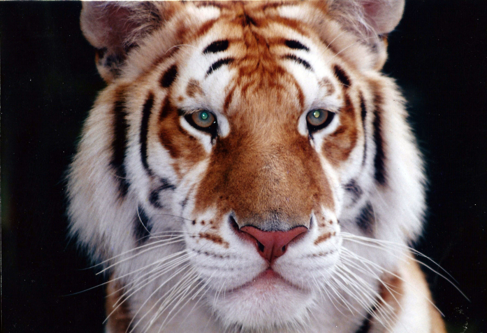 Photograph tiger by Irene Soxsmith on 500px