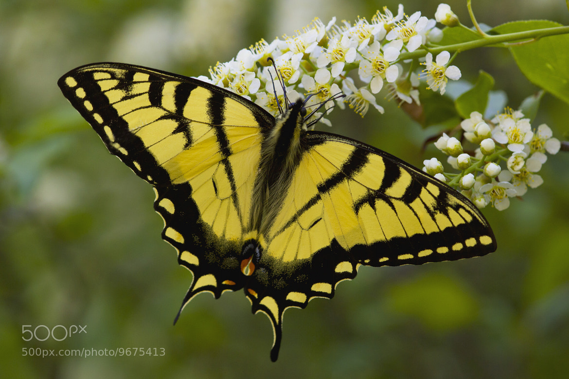 Photograph Eastern Tiger Swallowtail - Papilio glaucus by Megan Noble on 500px