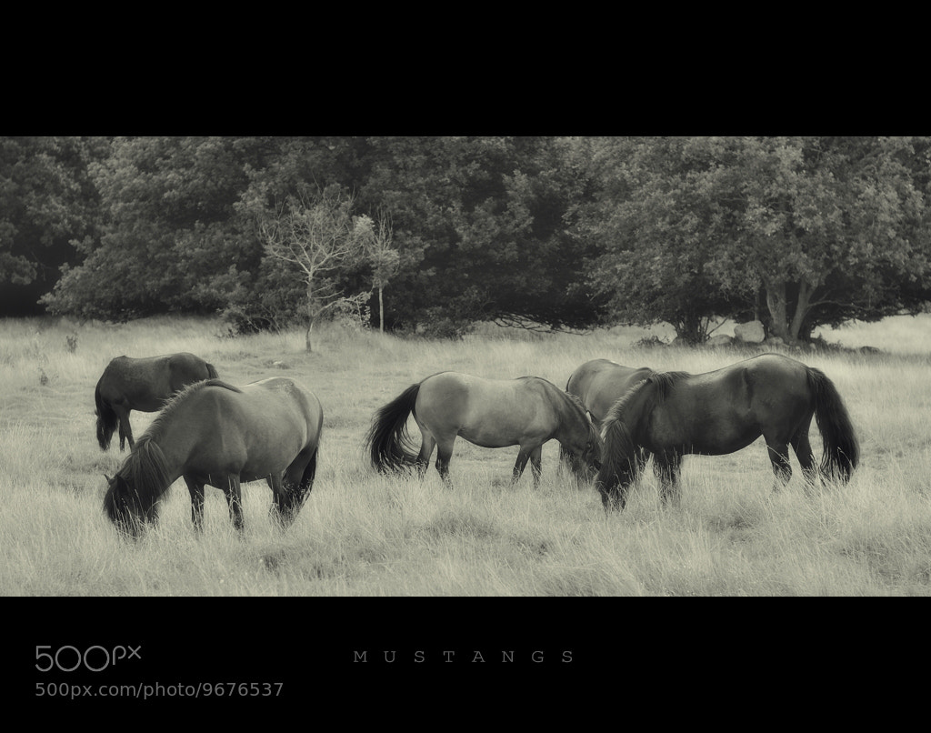 Photograph Mustangs... by Almqvist Photo on 500px