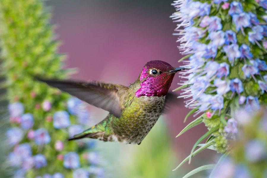 Anna's hummingbird by Eva Lee on 500px.com