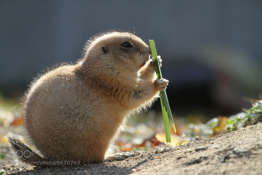 Photograph Young prairie dog by Rainer Leiss on 500px
