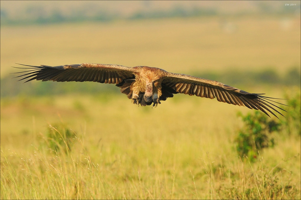 Photograph Landing Vulture by Elmar Weiss on 500px