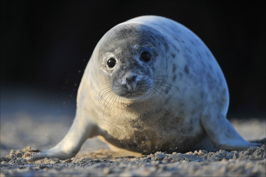 Photograph Grey Seal by Elmar Weiss on 500px