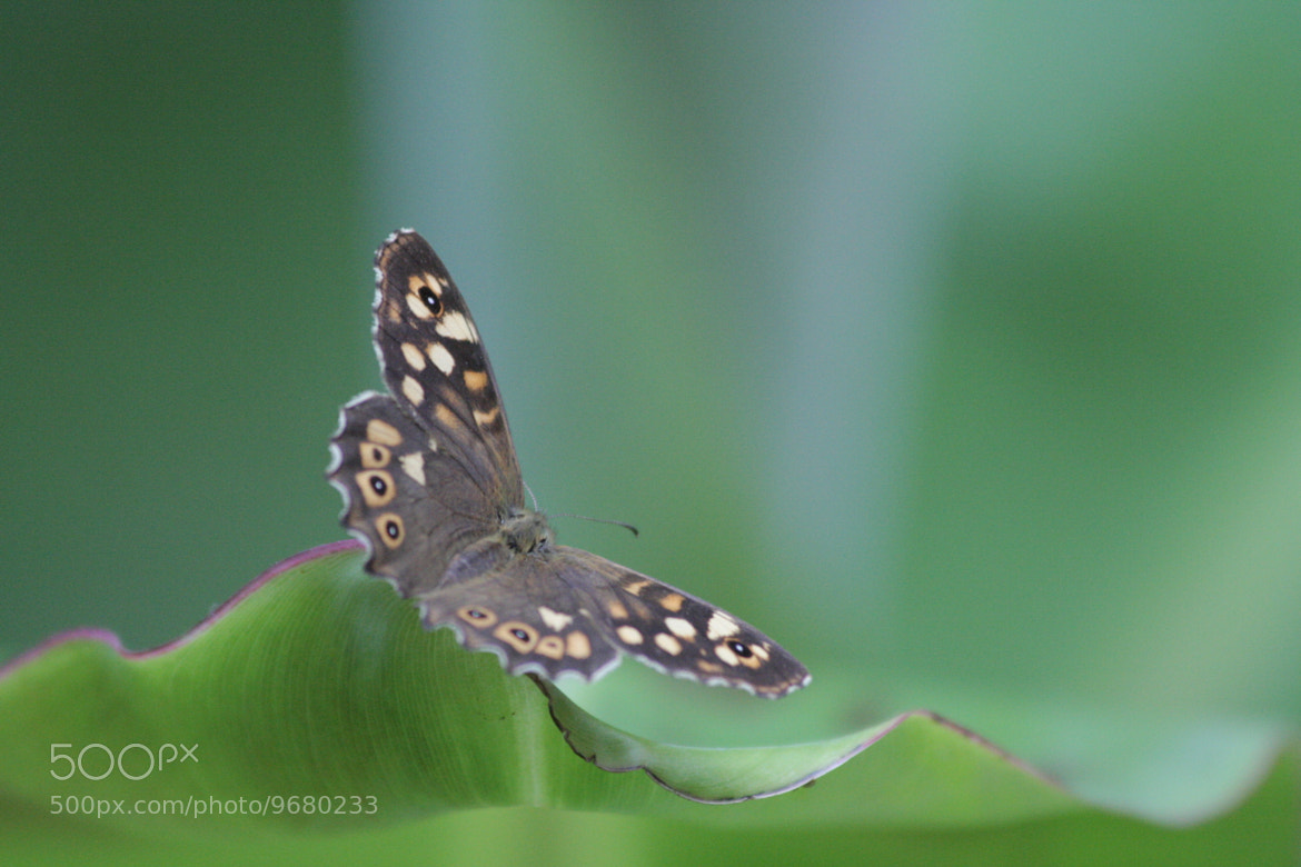 Photograph Little Butterfly by Nicolas Hoizey on 500px