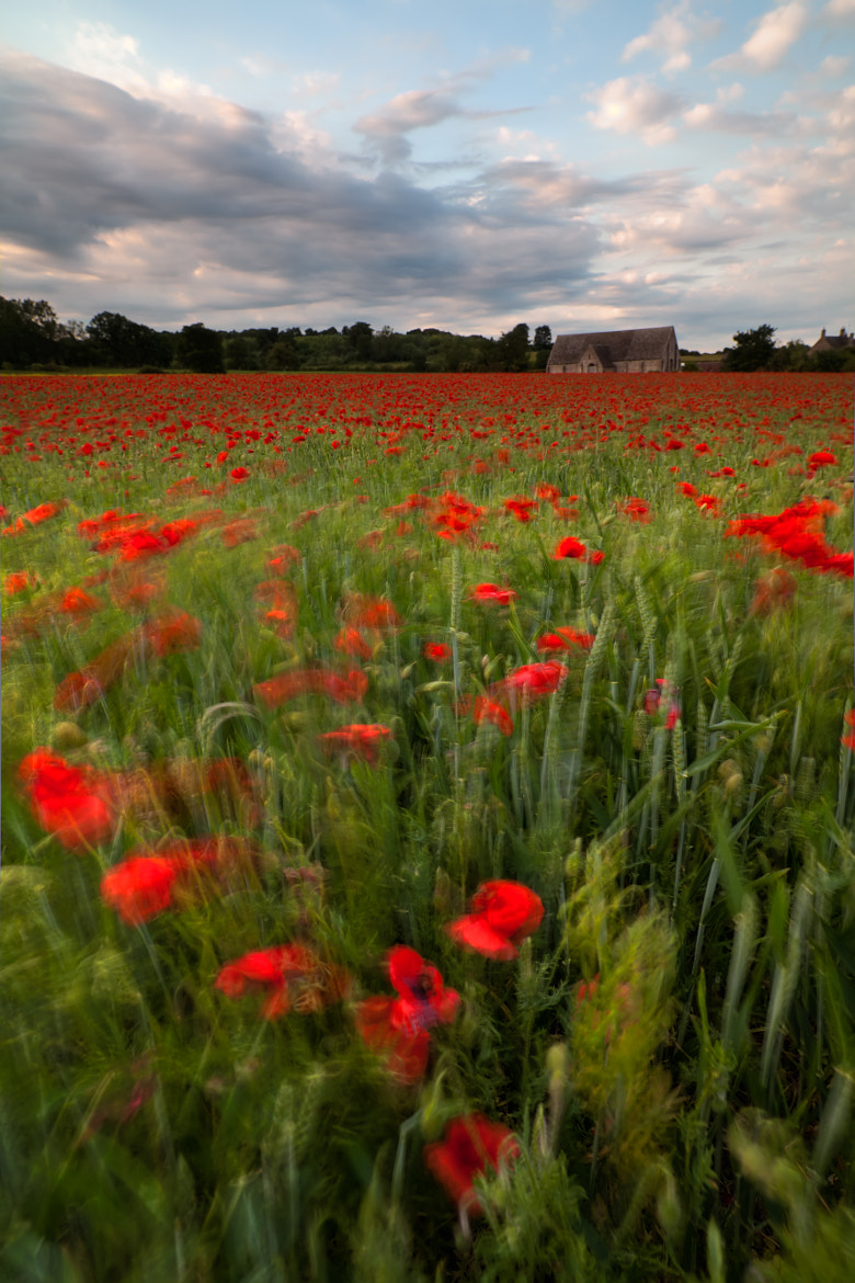Photograph Blowing poppies by Philip Eaglesfield on 500px