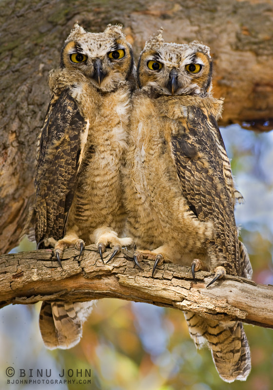 Photograph Great Horned Owl by Binu John on 500px