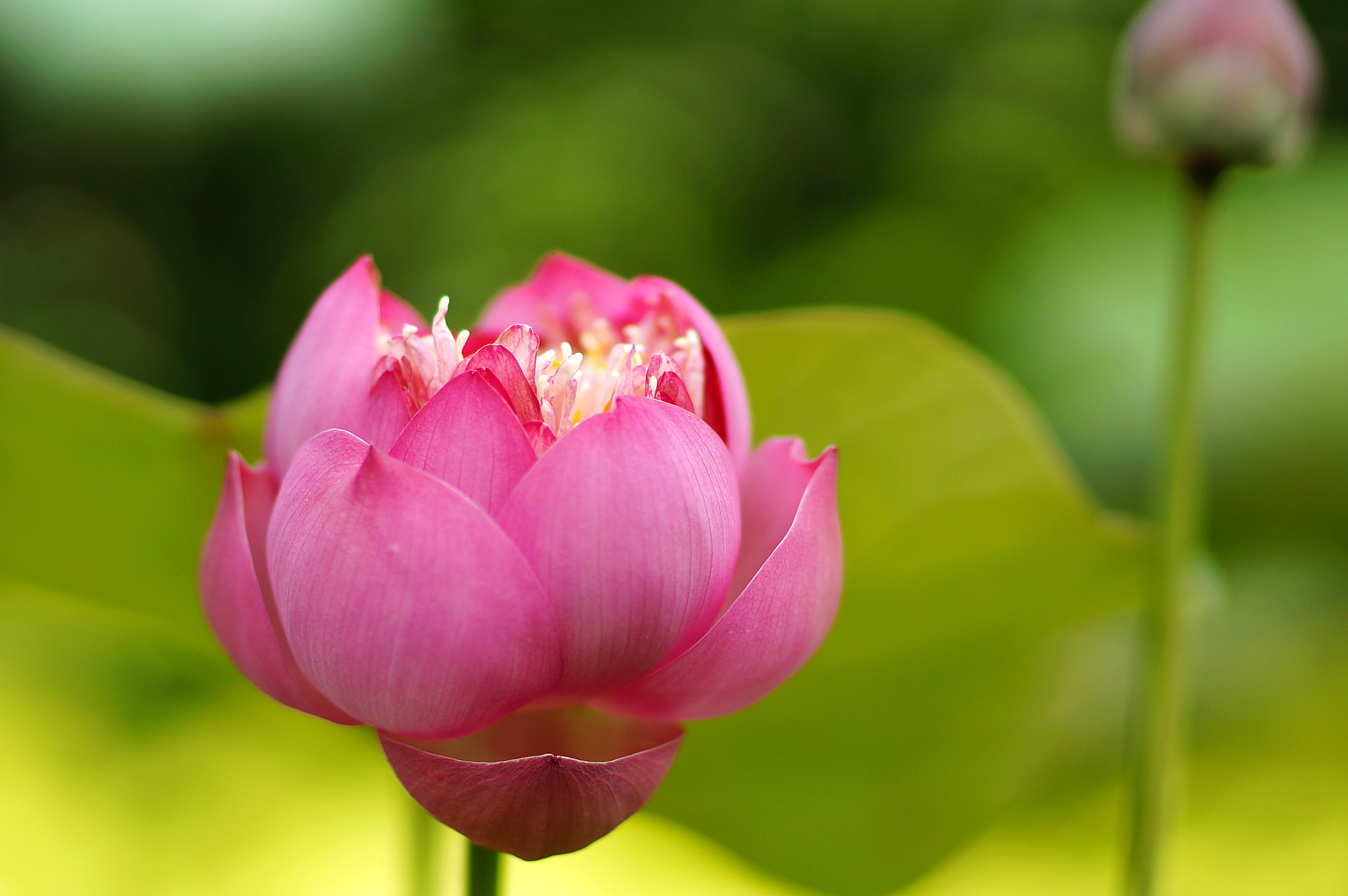 Photograph Adult lotus :)  by Diep Nguyen on 500px
