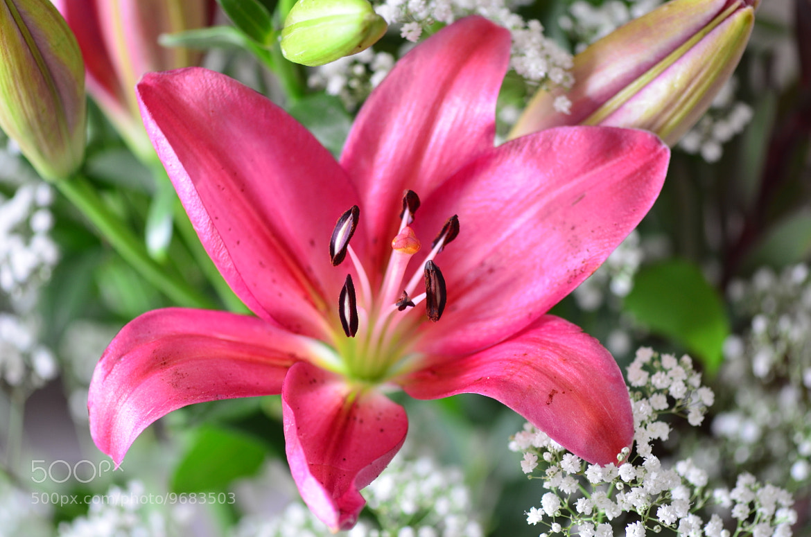 Photograph Lily by Liora Levin on 500px