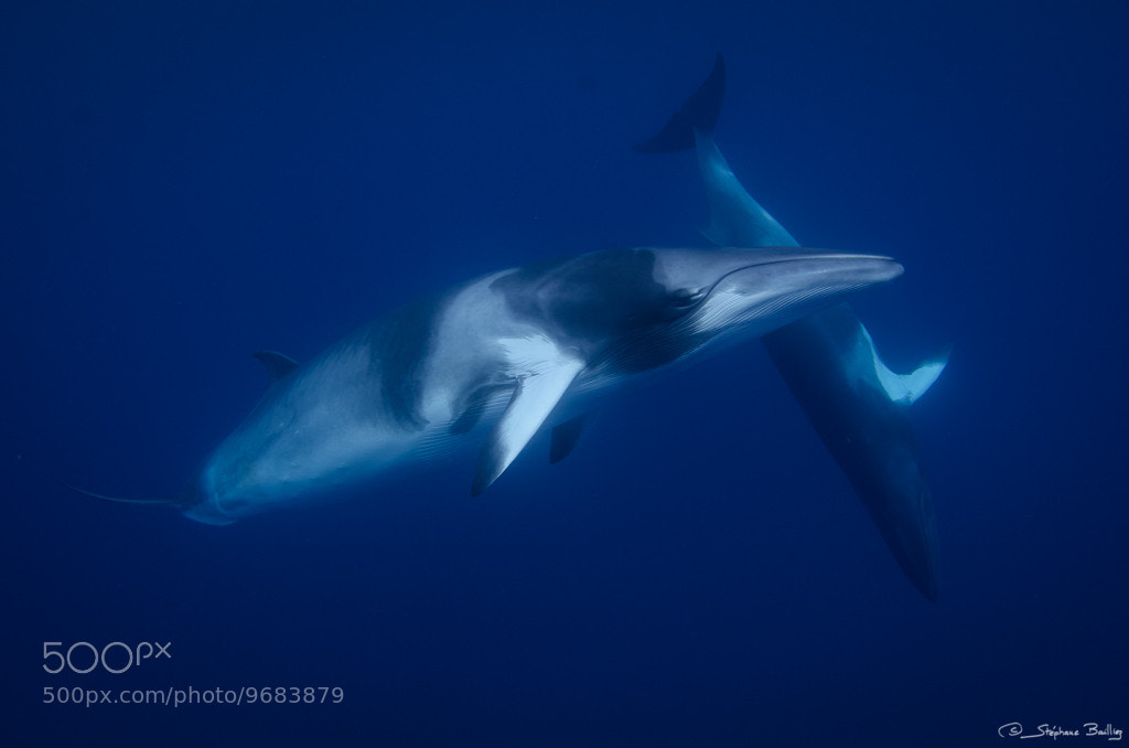 Photograph Minke Whale Underwater Ballet by Stephane Bailliez on 500px