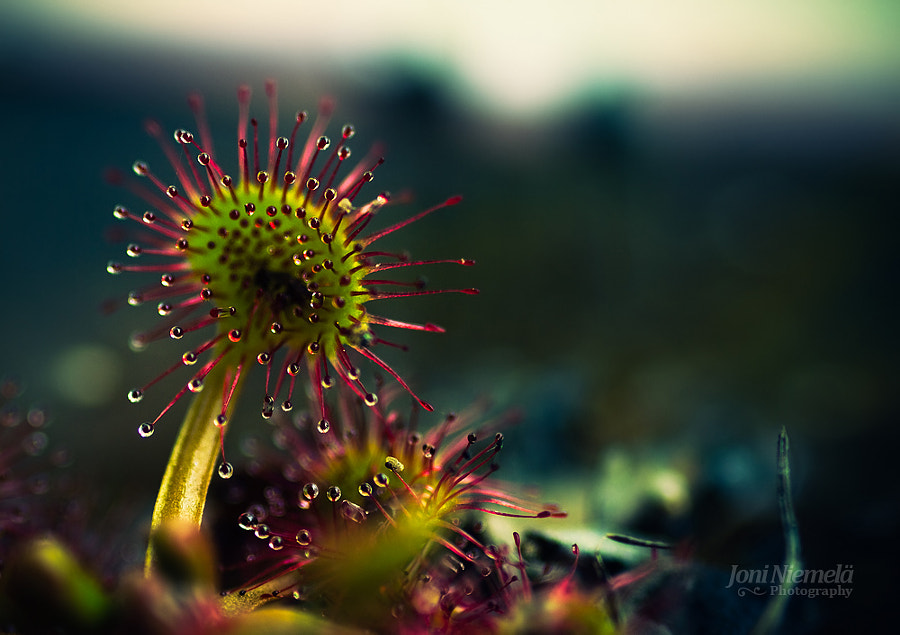 Sundew by Joni Niemelä on 500px.com