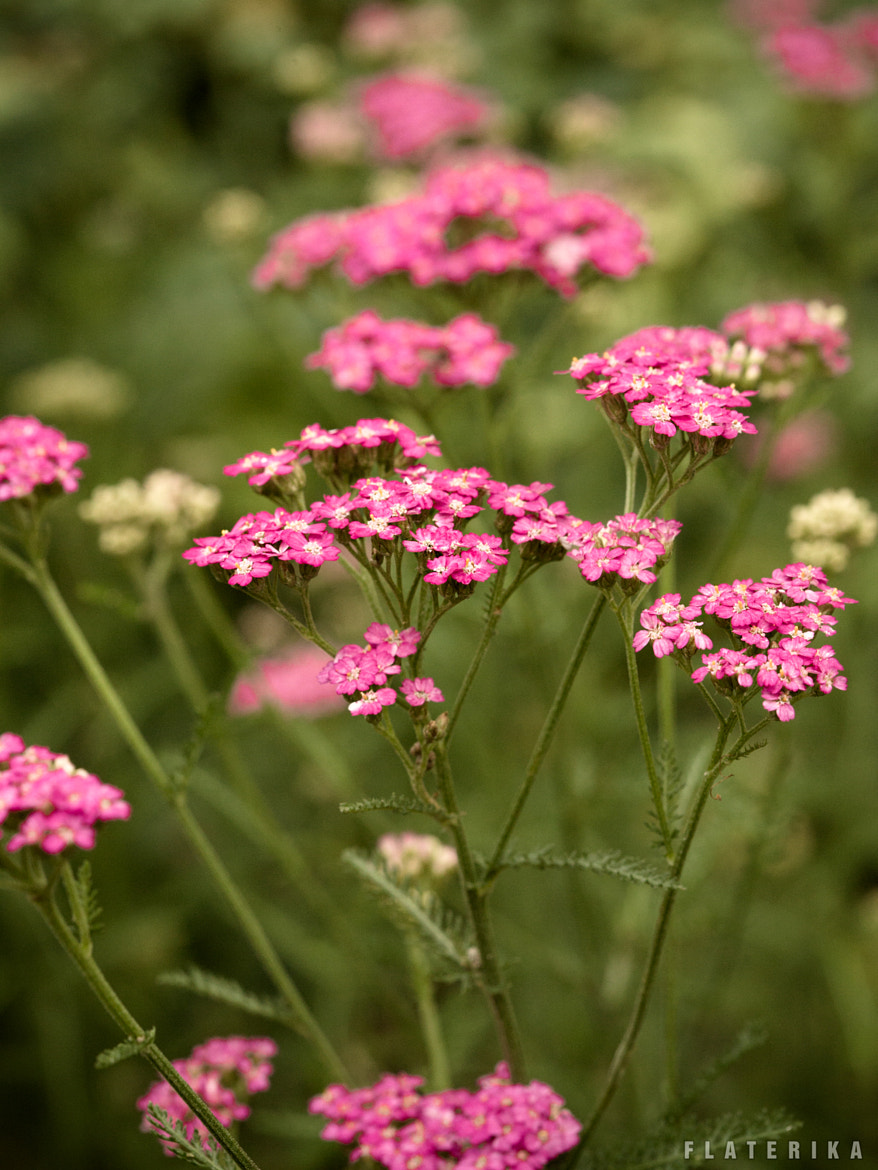 Photograph Pink flowers by Carole Merten on 500px